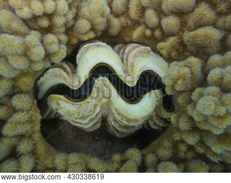 Tridacna Shell With Clam, Egypt, Danger To Dvivers