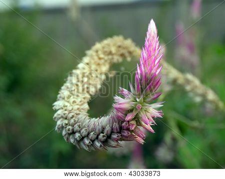 Celosia Spicata (2)