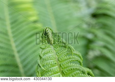 Green Fresh Fern Leaves For Background. Young Shoots Of Plant. Dreamy Ferns Backdrop. Free Space For