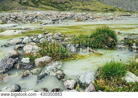 Vivid Alpine Landscape With Green Grasses And Beautiful Flowers Among Stones On Waterlogged Mountain