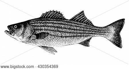 Morone Saxatilis, Striped Bass, Striped Lavrak. Fish Collection. Healthy Lifestyle, Delicious Food.