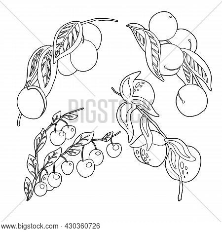 Set Of Outline Stone Fruit On Branches And Foliage. Vector Contour Natural Illustration Of Berries.