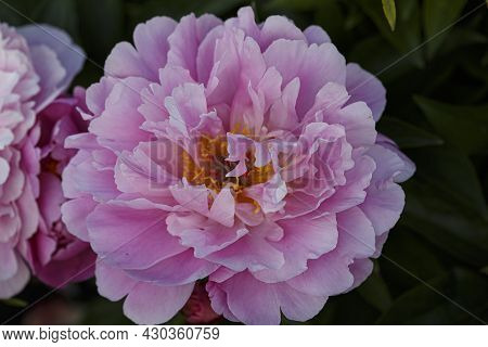 Flower Double Pink Peony, Paeonia Lactiflora Ma Petite Cherie  In Summer Garden On Natural Blurred