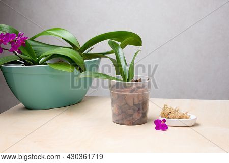 Transplant Orchids At Home. Planting Tools With Bark Soil, Pot And Moss. Orchid Transplant Process.