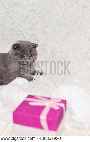 A Lop-eared Scottish Cat And A Gift Box. An Animal On A White Background. Entertainment For Pets