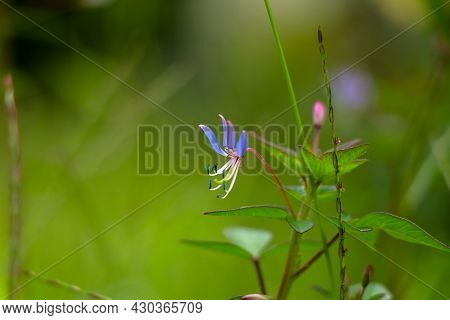 Purple Color Flower Of Cleome Rutidosperma, Known As Fringed Spider Flower Or Purple Cleome