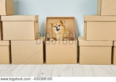 Animals, Relocation And Moving Concept. A Small Purebred Dog Poses In A Cardboard Box, Changes Its P