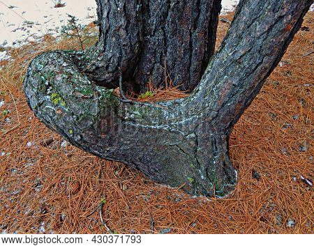 Curved Pine Base - A Curvy Ponderosa Pine Tree In The Woods Along Cold Springs Cutoff - West Of Sist