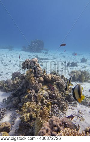 Colorful Coral Reef At The Bottom Of Tropical Sea, Hard Corals And Yellow Bannerfish, Underwater Lan