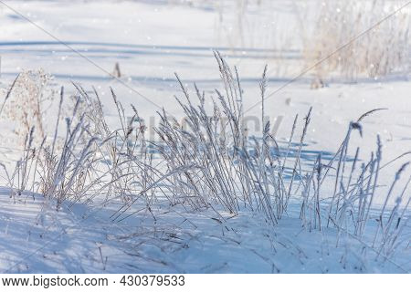 Dry Meadow Flowers And Grass Covered Frost In Winter Field. Nature Background In Cold Winter Day Wit