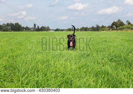 A Young American Pit Bull Terrier Puppy With His Tongue Sticking Out Stands In A Green Field While P