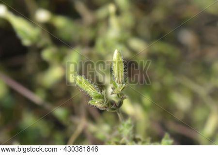 White Campion Flower Buds - Latin Name - Silene Latifolia Subsp. Alba