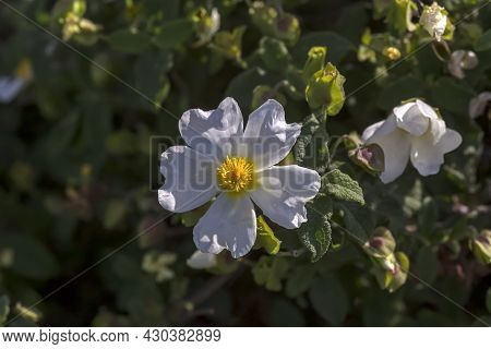 A Useful, Therapeutic Shrub (cistus Salvifolius) Grows In A Pine Forest In The Mountains Close-up On