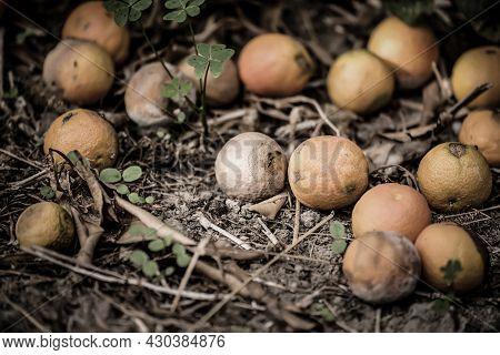 Rotten Mandarins On Dry Grass In Fruit Garden, Seasonal Background