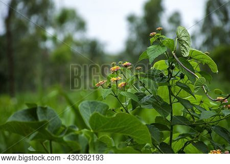 Stock Photo Of Multicolored Beautiful West Indian Lantana Flower Blooming In The Agricultural Filed