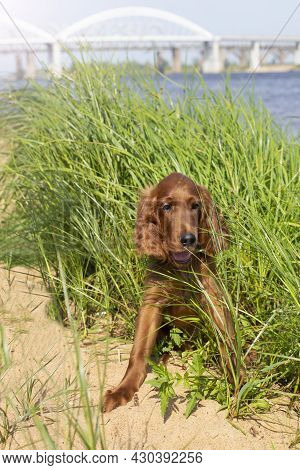 Young Three Month Old Irish Setter Puppy Close Up In The Grass On The River Bank On A Sunny Day