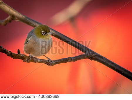 Silver Eye Perching On The Branch In New Zealand
