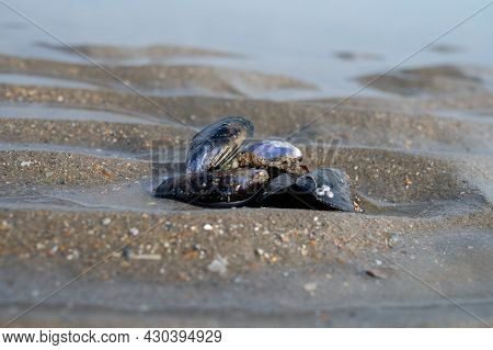 Group Of Live Mussels Clams Lies On Sand At Low Tide In North Sea