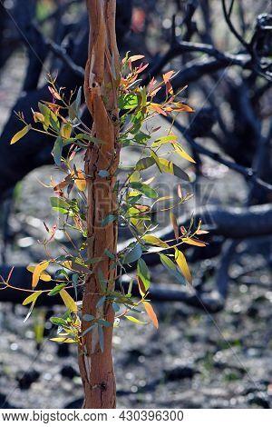 Epicormic Sprouting On A Eucalyptus Gum Tree Following A Bushfire In Nsw, Australia. A Fire Adaptive