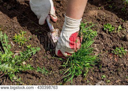 Hands Of Gardener With Weed In The Vegetable Garden