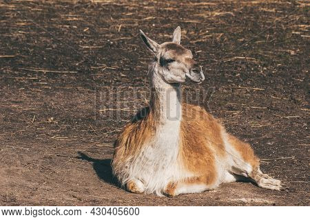 Guanaco Is A Cloven-hoofed Mammal From The Family Of Camelids, A Genus Of Llamas.