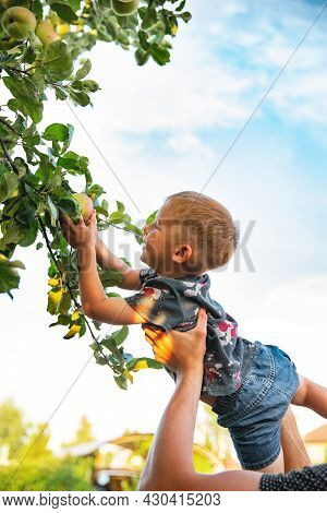 The Father\'s Hands Lift A Small Smiling Boy In A Gray Spotted T-shirt And Denim Shorts To The Apple