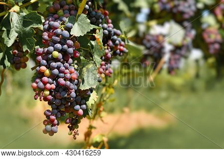 Bunch Of Small Red Wine Grapes In Vineyard