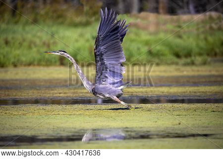 Great Blue Heron (ardea Herodias)  Is The Largest American Heron Hunting Small Fish, Insect, Rodents