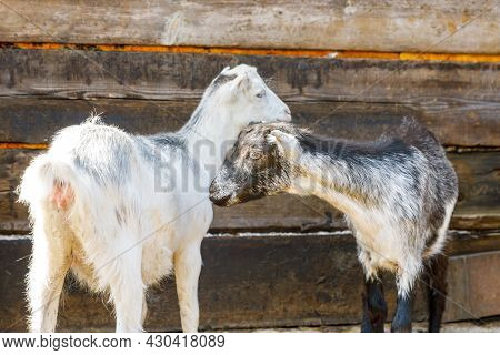 Cute Free Range Goatling On Organic Natural Eco Animal Farm Freely Grazing In Yard On Ranch Backgrou
