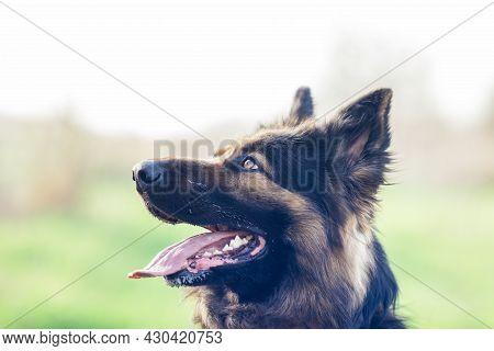 Dog's Muzzle Close Up. German Shepherd Eyes. Muzzle Close-up Of A Black And Red German Shepherd Dog.