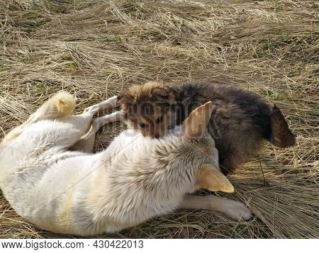 Mom Dog Plays With Puppies Outdoors. The Dog Is Lying, The Puppy Is Lying Next To Him. Maternal Love