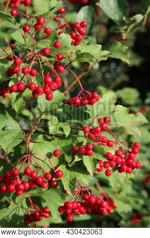 The Beautiful Red Berries Of Viburnum Opulus Against Green Summer Foliage. Also Known As Guelder Ros