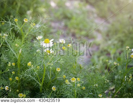 Small Daisies On A Blurry Background. Early Morning, Flowers Lit By The Sun. Spring, Sunny Day. Gree