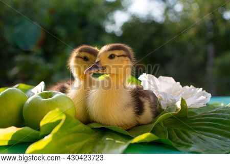 A Couple Of Cute Ducklings Are Sitting On A Table On Hosta Leaves In The Sun Against The Backdrop Of