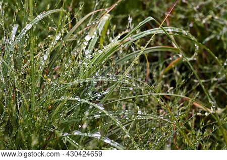 Large Drops Of Fresh Morning Dew On Green Grass In Sunlight. Selective Focus. Spring Background, An