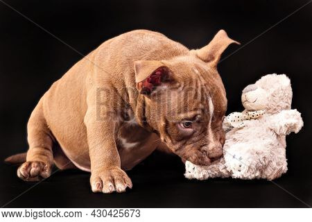 A Brown American Bully Puppy With Uncut Ears Is Playing With A Soft Toy.