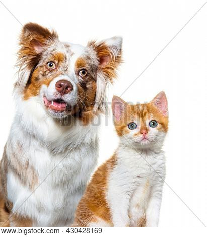 Head shot of a two pets, australian shepherd dog and Kitten cat mixed-breed, Cat and dog