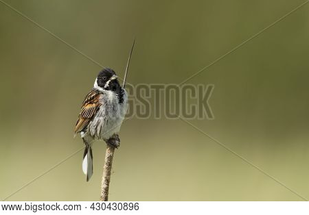 Common Reed Bunting Perched On A Reed In Rainham Marshes Nature Reserve Against Yellow Background, U