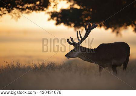Red Deer Stag At Sunrise In Summer, United Kingdom.