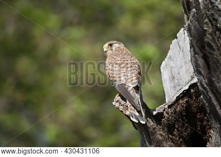 Close Up Of A Common Kestrel Perched On A Tree Trunk Against Green Background, United Kingdom.