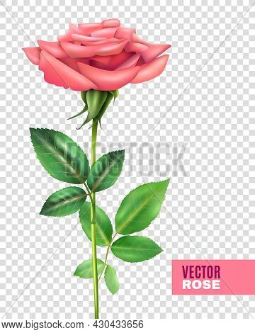 Realistic Tender Blooming Pink Rose With Beautiful Petals And Green Stalk And Leaves On Transparent