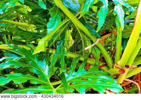 Large Leaves On The Monstera Deliciosa Plant Which Is A Tropical Plant Native To The South American
