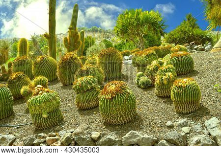 Ferocactus Stainesii Cactus Eventually Grows Into A Robust Clump Of Chunky Columns, In La Oliva, Fue