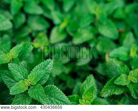 Green Leaves Of Melissa. Lemon Balm In The Garden. Rural Nature. Organic Agriculture. A Herbaceous P