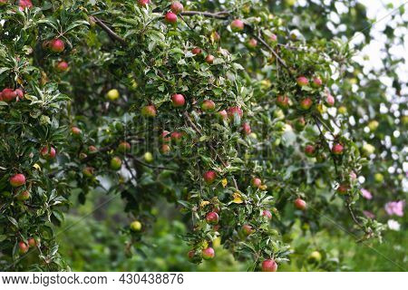 Apple Branch. Apple Trees With Ripe Apples On The Branches. There Is A Rotten Apple On The Branch An