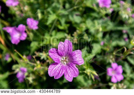 Summer Garden Flowers , Geranium Purple Flowers Close-up.