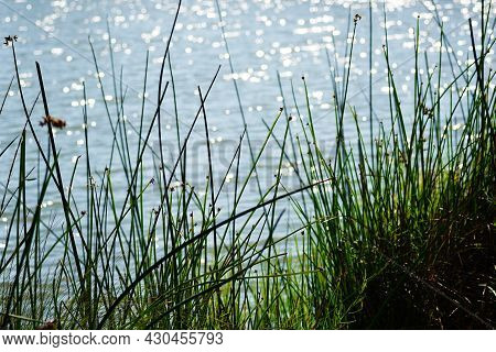 Marsh Grass And Reeds Against Sparkling Pond