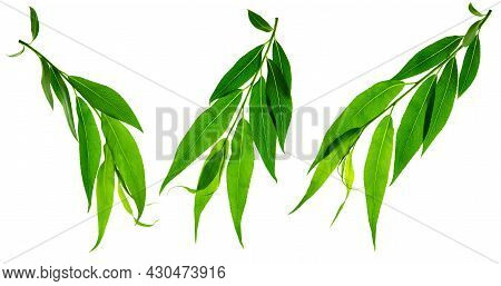 Green Leaves Isolated On White Background. Young Leaves Of Green Trees . Willow. Spring. Green Leave