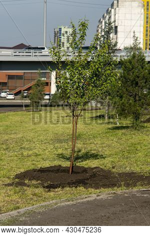 A Sapling Of A Young Tree, Planted On The Green Lawn Of The City.