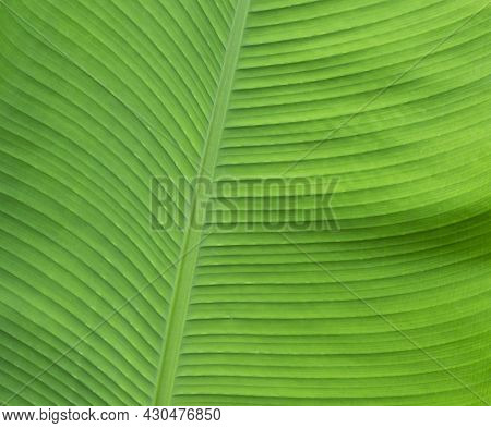 Beautiful Tropical Banana Leaf Texture Background. Green Banana Leaf Background With Copy Specs For